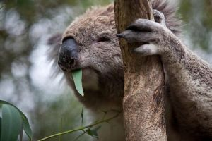 Phillip Island Koala Conservation Centre Entry ticket - Accommodation Find