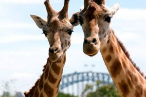 Sydney Harbour Ferry with Taronga Zoo Entry Ticket - Accommodation Find